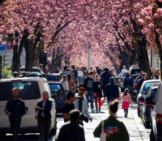 Аллею цветущих сакур в Бонне закрыли для посетителей на время карантина